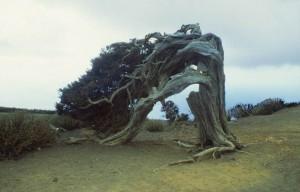 sturmgebeugter Wacholderbaum
