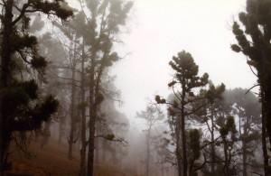 Kanaren-Wald