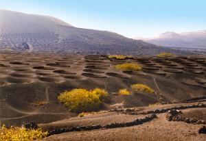 Anbau des berühmten Weins von Lanzarote